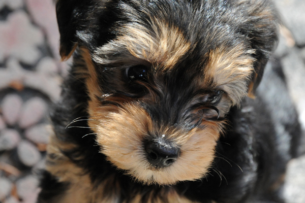 Yorkshire Terrier Yorkie Mix